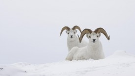 Dall Sheep Rams, Yukon, Canada